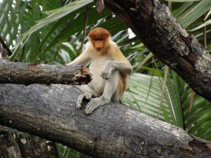 Affe in den Mangroven von Brunei