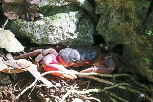 Krabben waren überall auf Palau