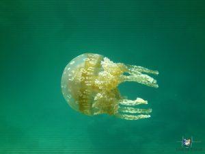 Jellyfish beim Schnorcheln