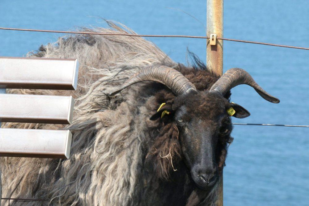 Bock auf Helgoland