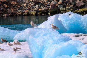 Möwen auf Eisberg am Jökulsárlón