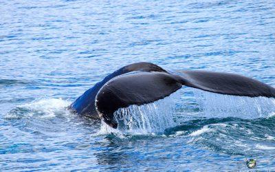 Whale Watching in Húsavík, Island