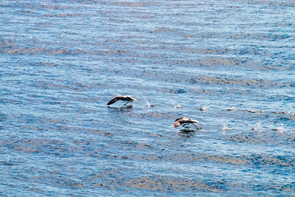 Rennende Vögel in Húsavík