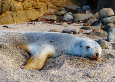 Seal in der Curio Bay