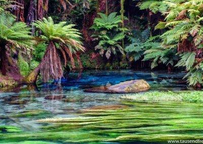 Blue Spring bei Rotorua