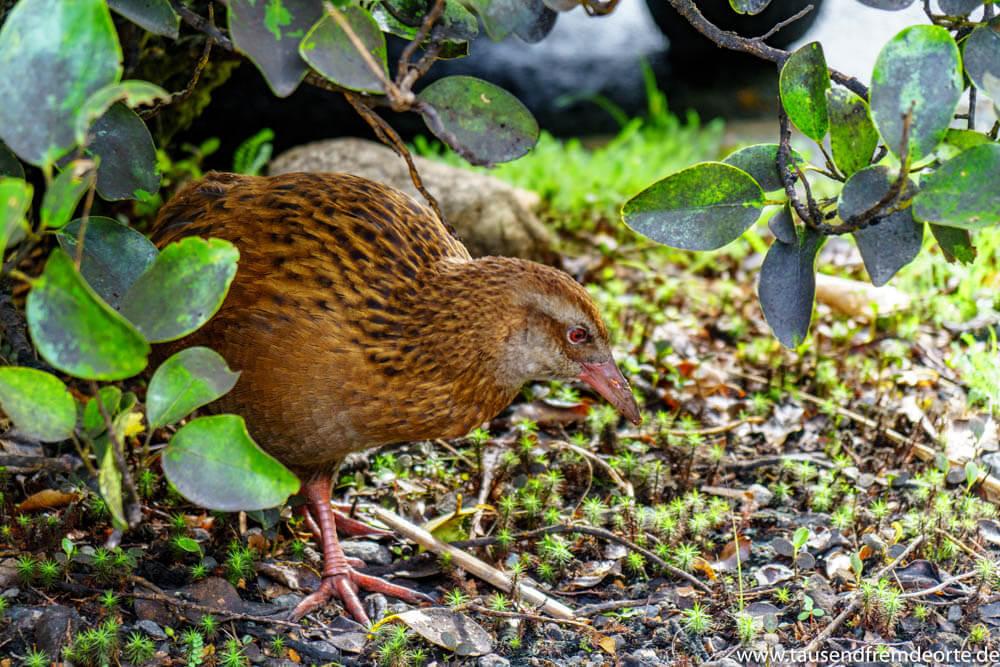 Der flugunfähige Weka (Wekaralle) lebt im Busch von Neuseeland und im Milford Sound