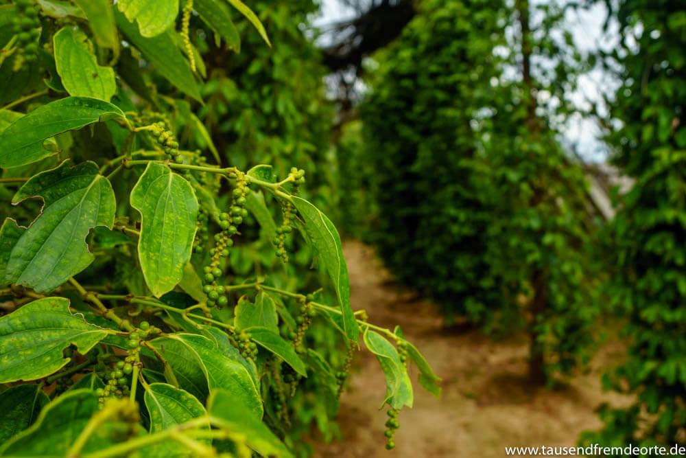 Grüner Pfeffer an der Pfefferpflanze
