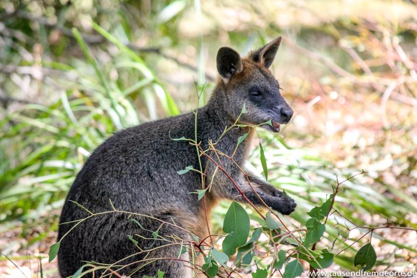 Känguru Wilsons Promontory National Park