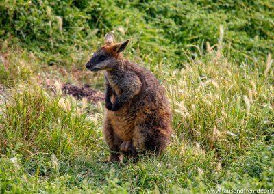 Känguru auf Phillip Island