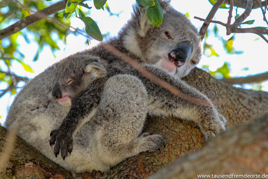 Koala Mama und Baby auf Raymond Island