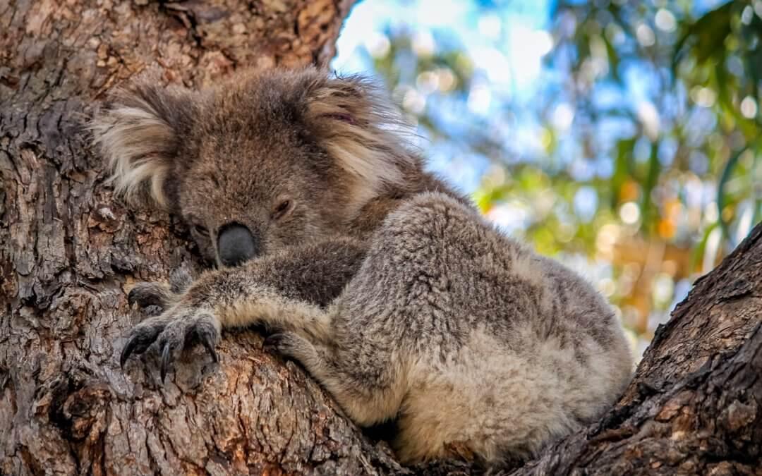Geheimtipp Raymond Island – Koalas hautnah