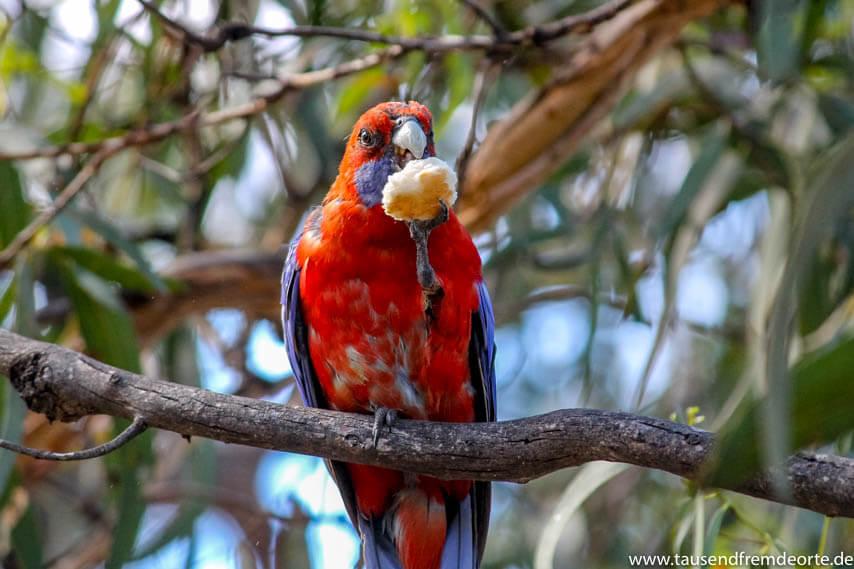 Papagei im Baum auf Raymond Island