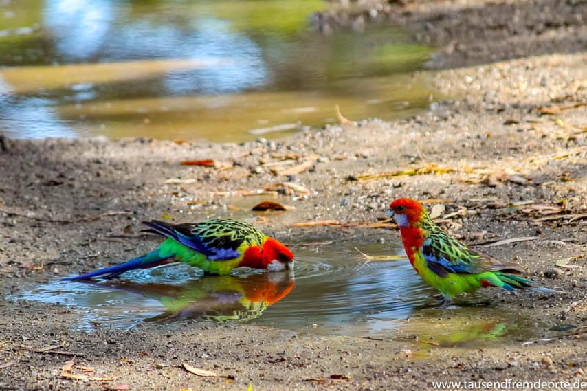 Papagei am Wasserloch auf Raymond Island