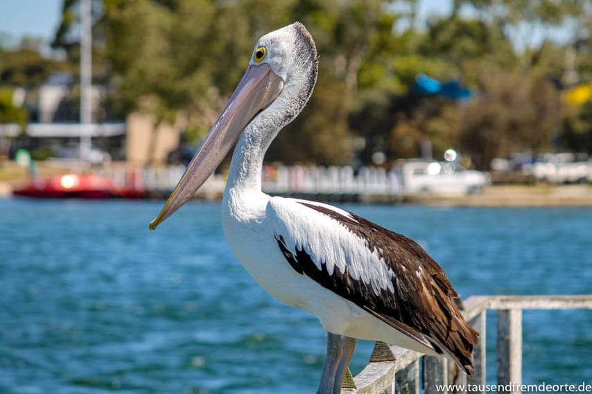 Pelikan auf Raymond Island