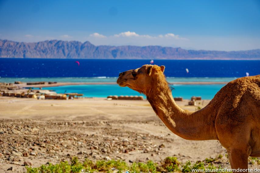 Kamel an der blauen Lagune bei Dahab in Ägypten