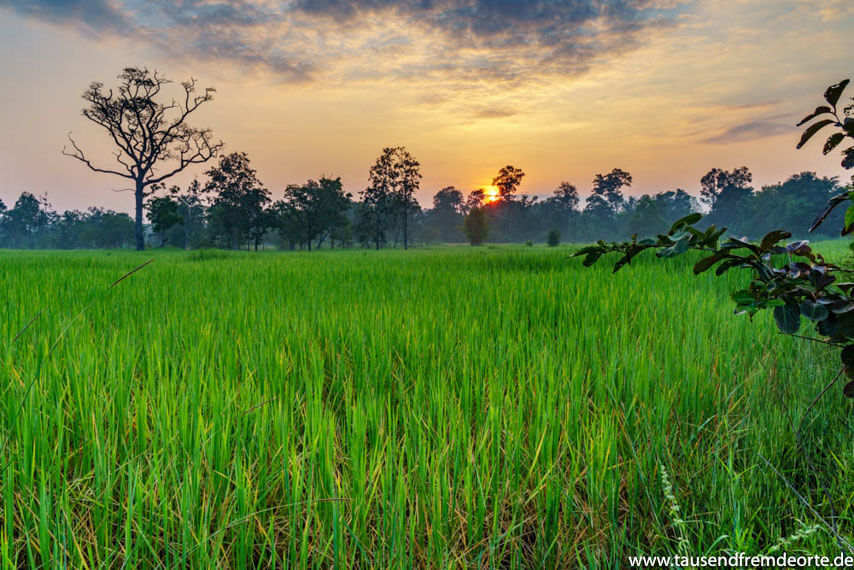 Sonnenaufgang auf dem Reisfeld in Laos
