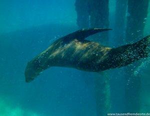 Seehund im Meer in Sorrento in Australien
