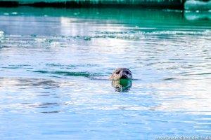 Seehund in der Gletscherlagune Jökulsarlon
