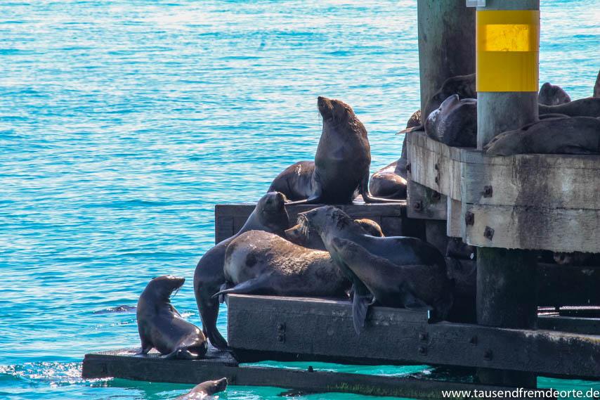 Seehundkolonie Sorrento in Australien