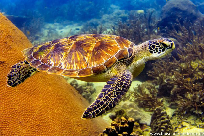 Schildkröte Koh Tao
