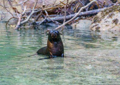 Seehund Abel Tasman Nationalpark